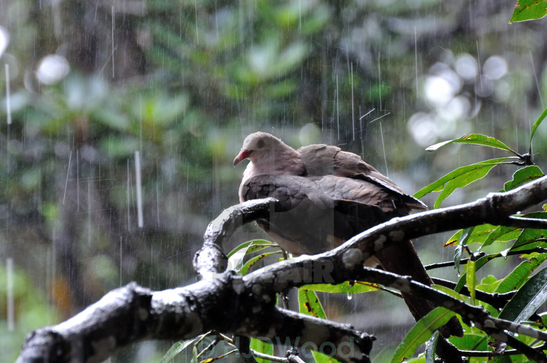 """A Pink Pigeon in heavy rain"" stock image"