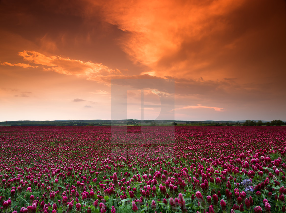 """Purple cover field"" stock image"