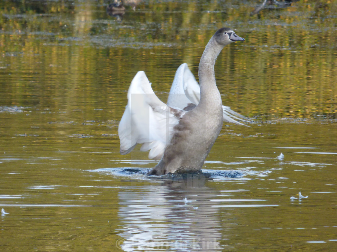 """Cygnet in Transition"" stock image"