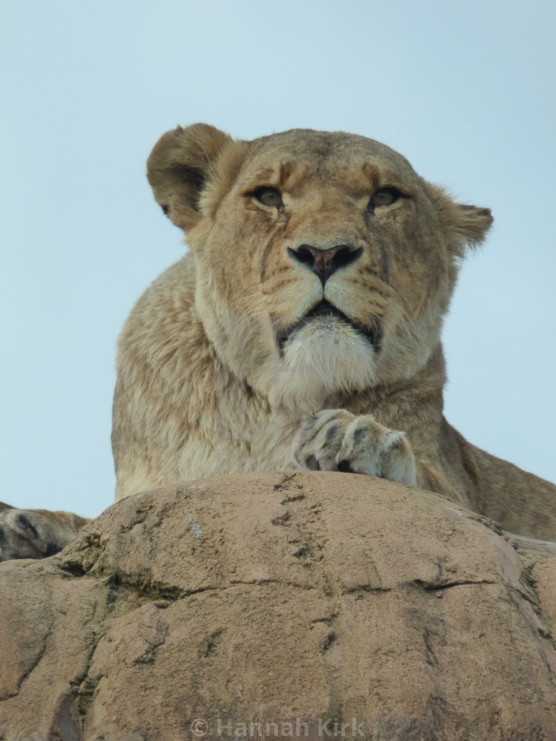 """Lioness - Deep in Thought"" stock image"