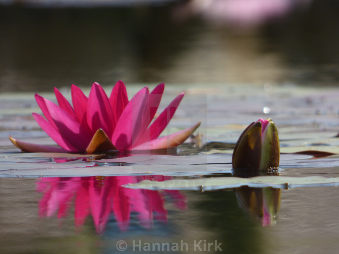 """Waterlily Reflection"" stock image"