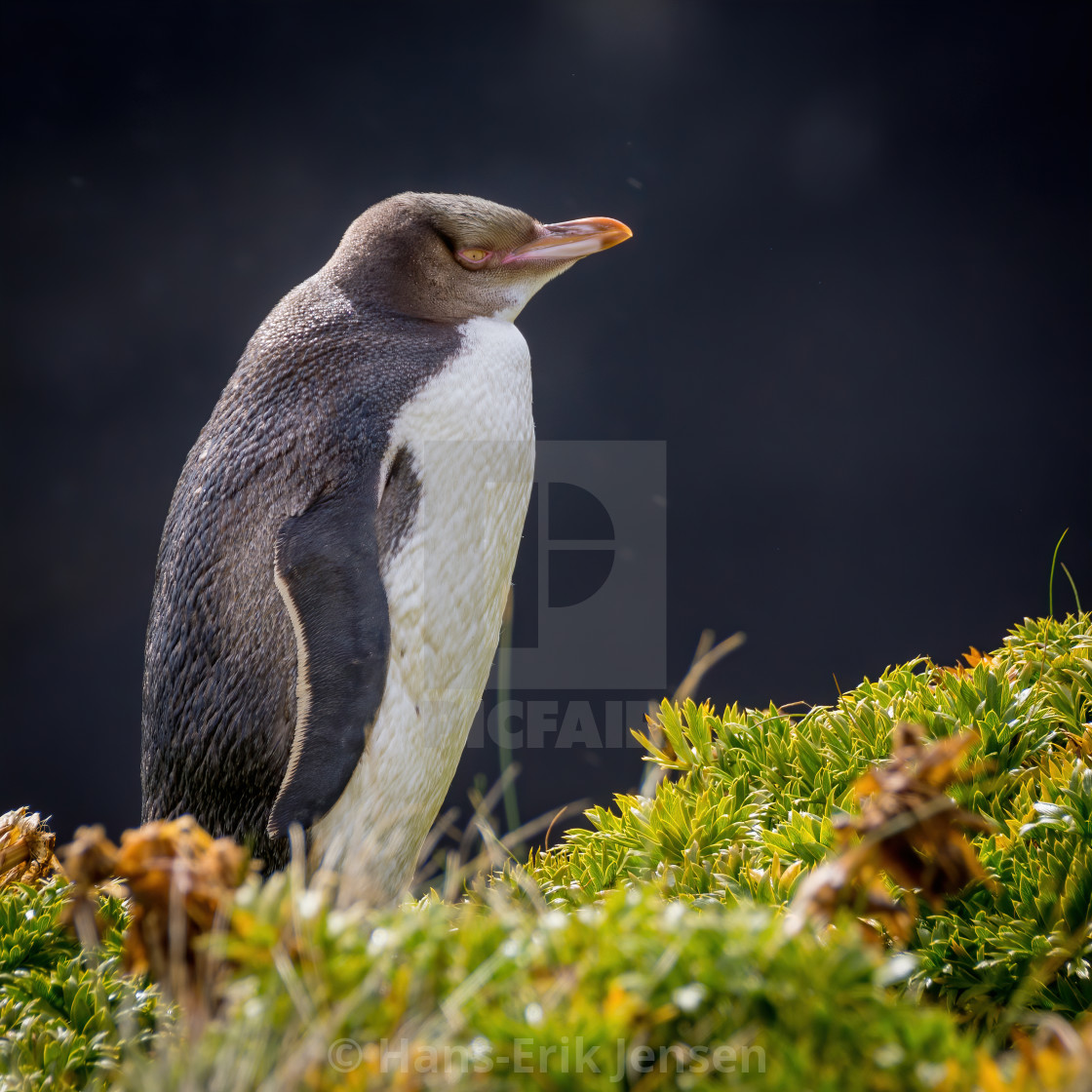 """Yellow-eyed Penguin (Megadyptes antipodes)"" stock image"