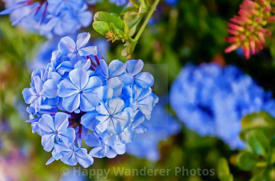 """Blue Phlox in bloom"" stock image"