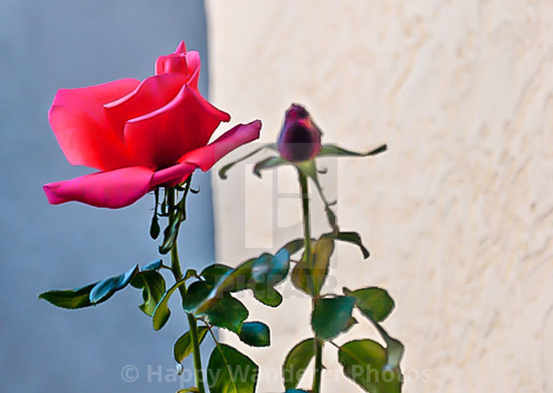 """""""Pink rose and bud"""" stock image"""