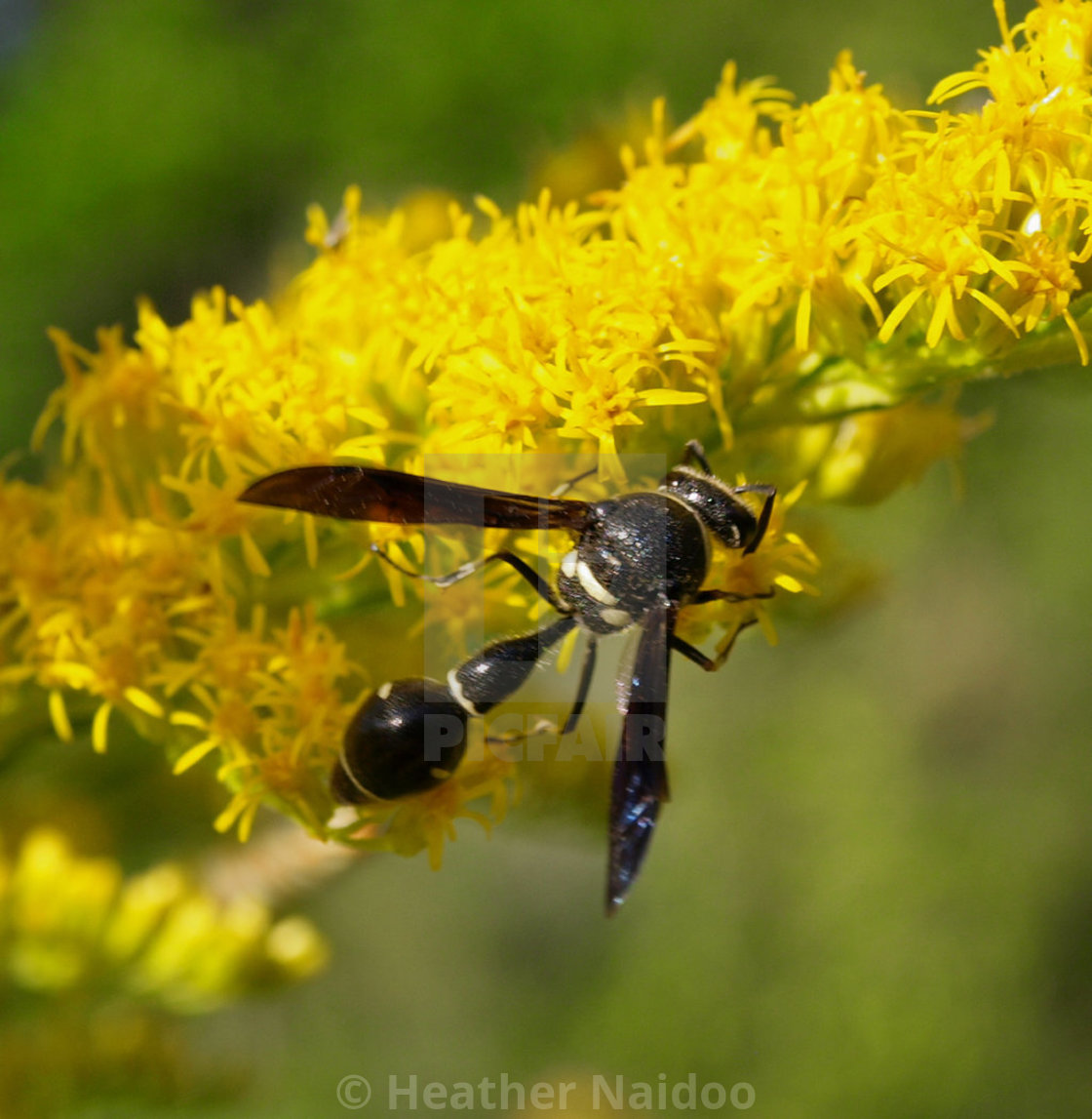 Tiny Wasp On Tiny Yellow Flowers License For 124 On Picfair