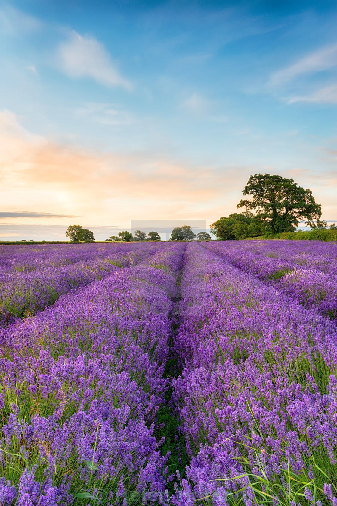 """Dreamy Lavender Field"" stock image"