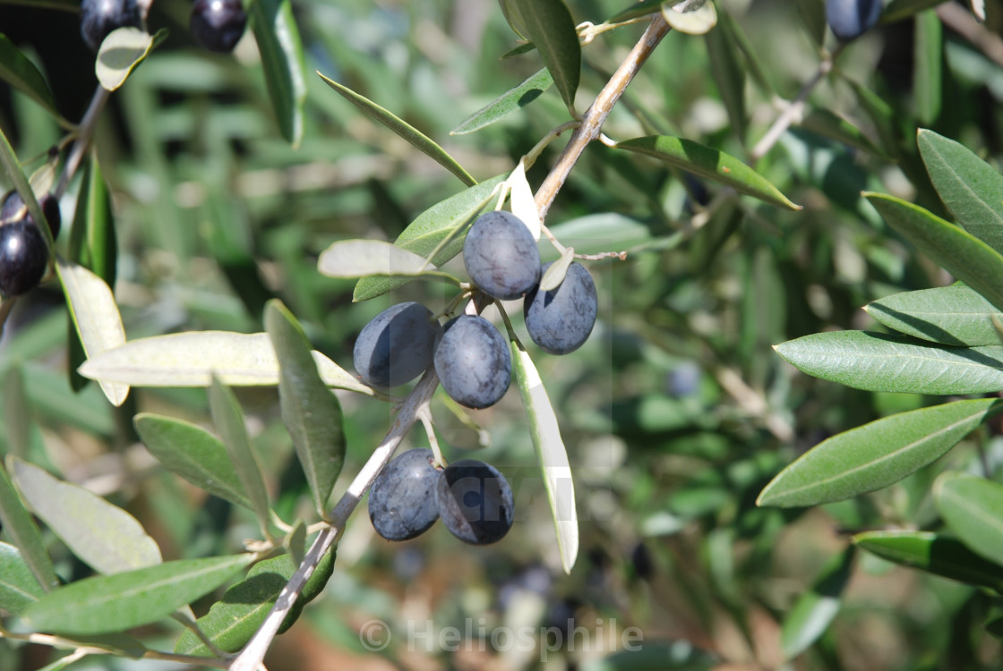"""Olive tree in Provence"" stock image"