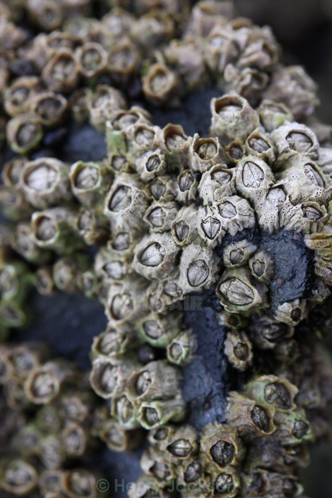 """Barnacles"" stock image"