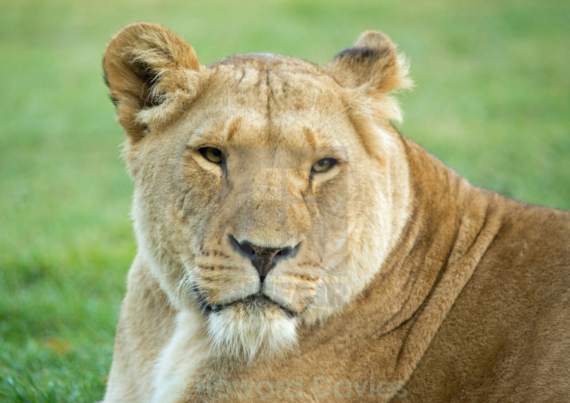 """Lioness 2"" stock image"