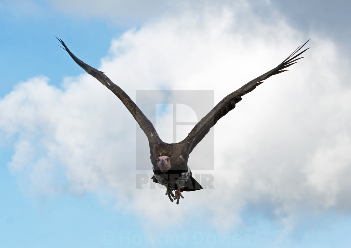 """Vulture"" stock image"