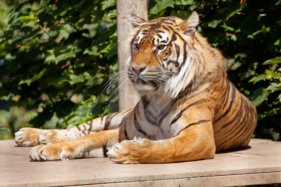 """Resting Tiger"" stock image"