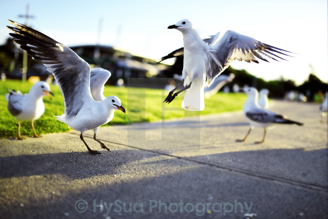 """The fighting seagulls"" stock image"