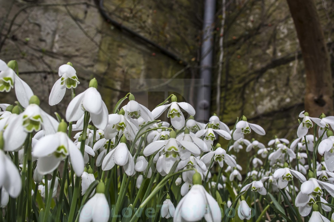 """Snowdrops at Chirk Castle"" stock image"