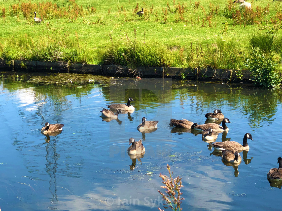 """Ducks enjoying the hot weather!"" stock image"