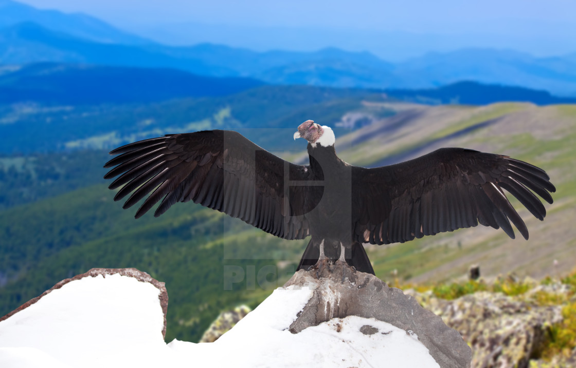 """Andean condor in wildness area"" stock image"