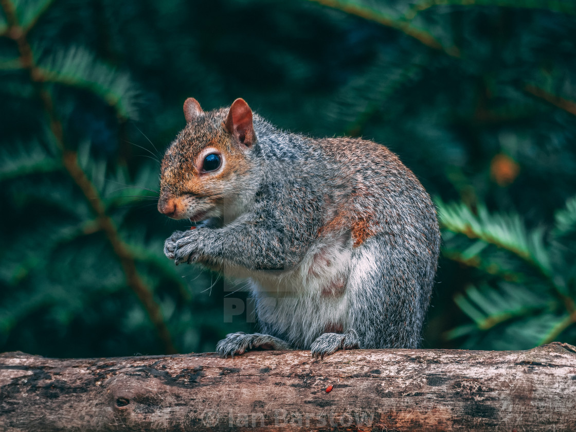 """Grey Squirrel eating"" stock image"
