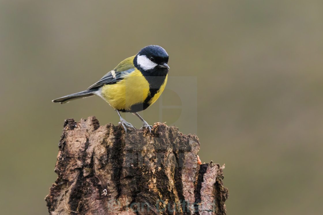"""""""Great Tit perched on a tree stump"""" stock image"""