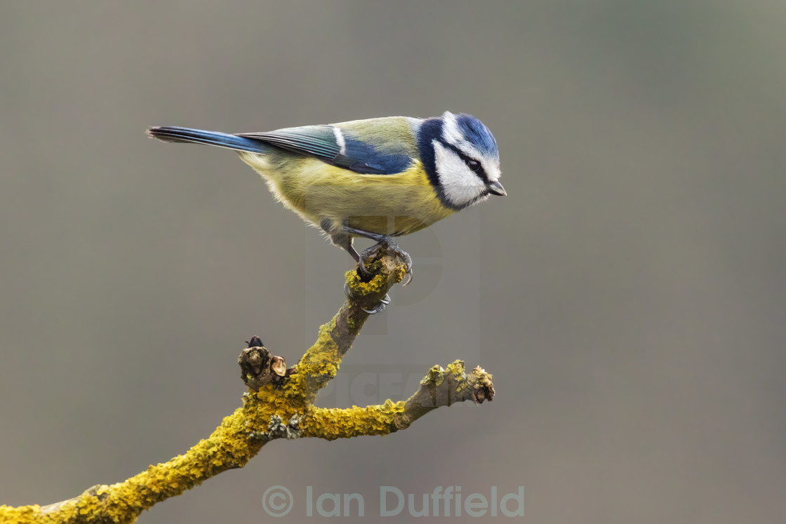 """Blue Tit poised to go"" stock image"