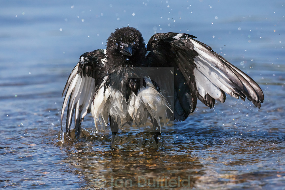 """""""Bathing magpie standing in water"""" stock image"""