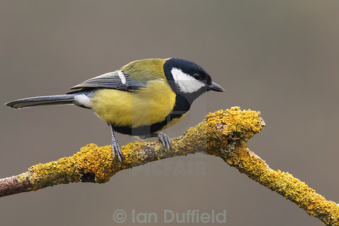 """""""Great Tit on a lichen covered branch"""" stock image"""