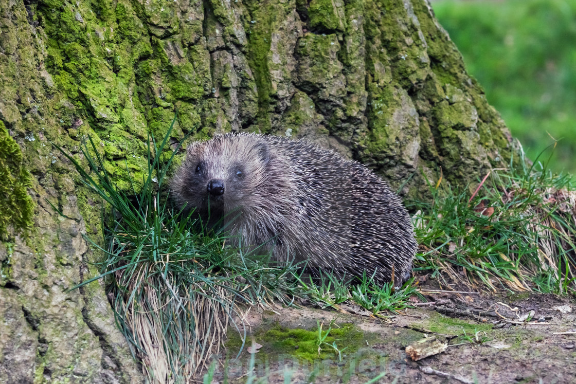 """Hedgehog snuffling around a tree trunk"" stock image"