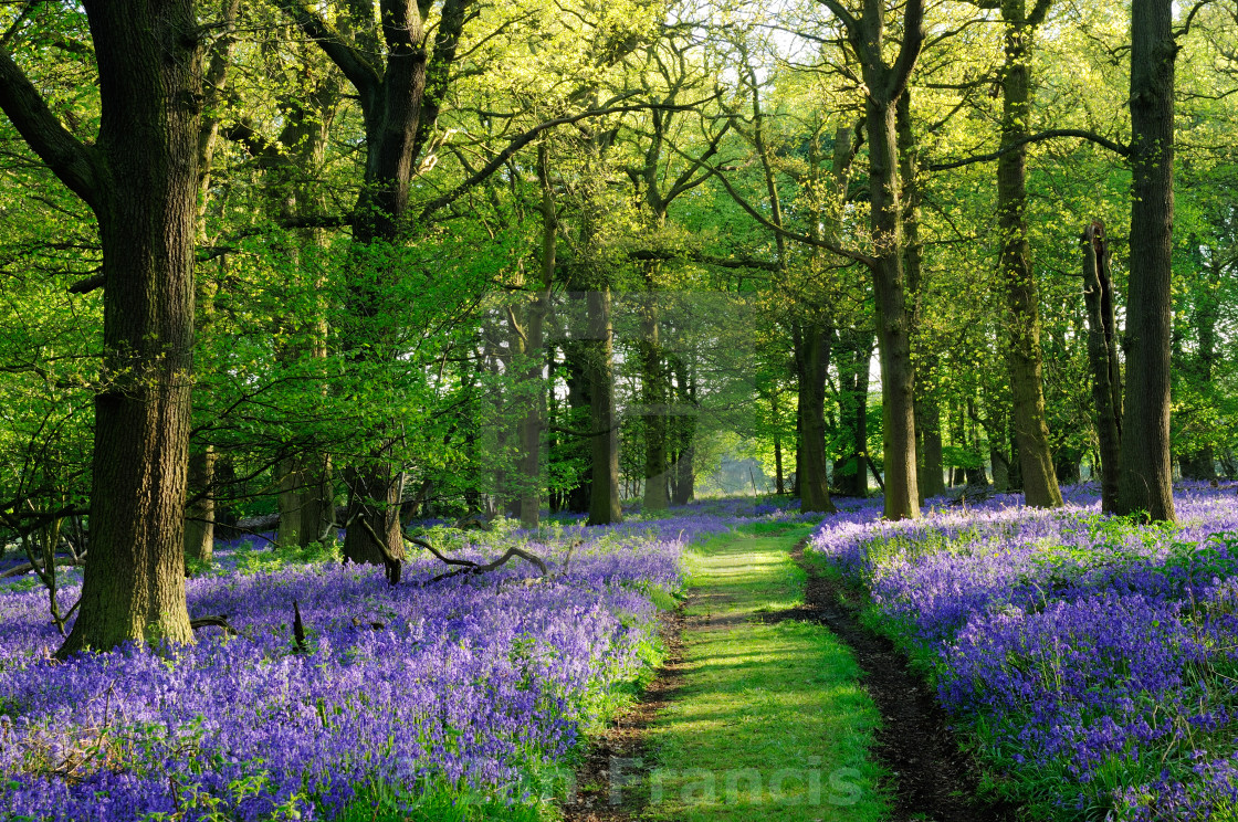 """Bluebells Woods ."" stock image"