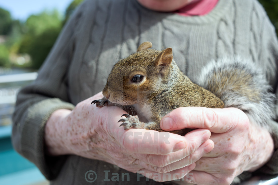 """Man Holding Gery Squirrel"" stock image"