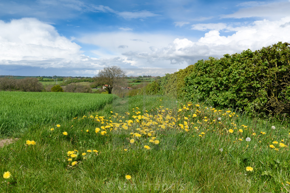 """Hedgerows in English contyside."" stock image"