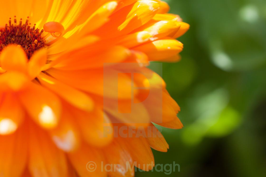 """Pot marigold"" stock image"