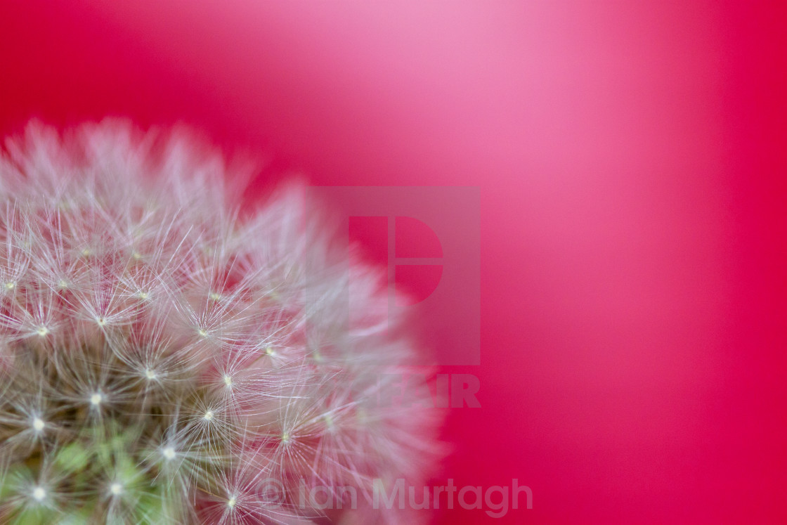 """Dandelion on Red"" stock image"