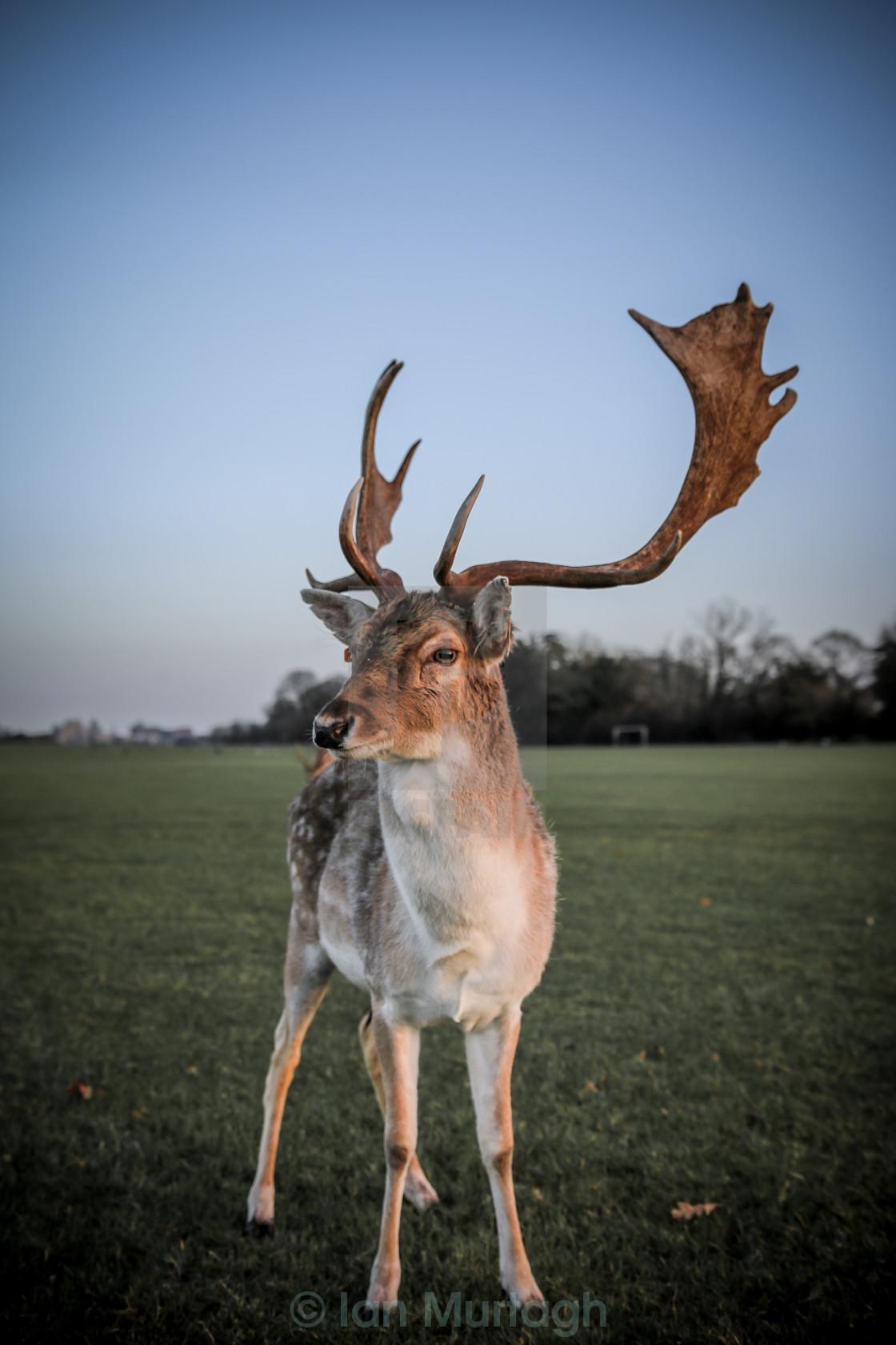 """""""Phoenix Deer"""" stock image"""