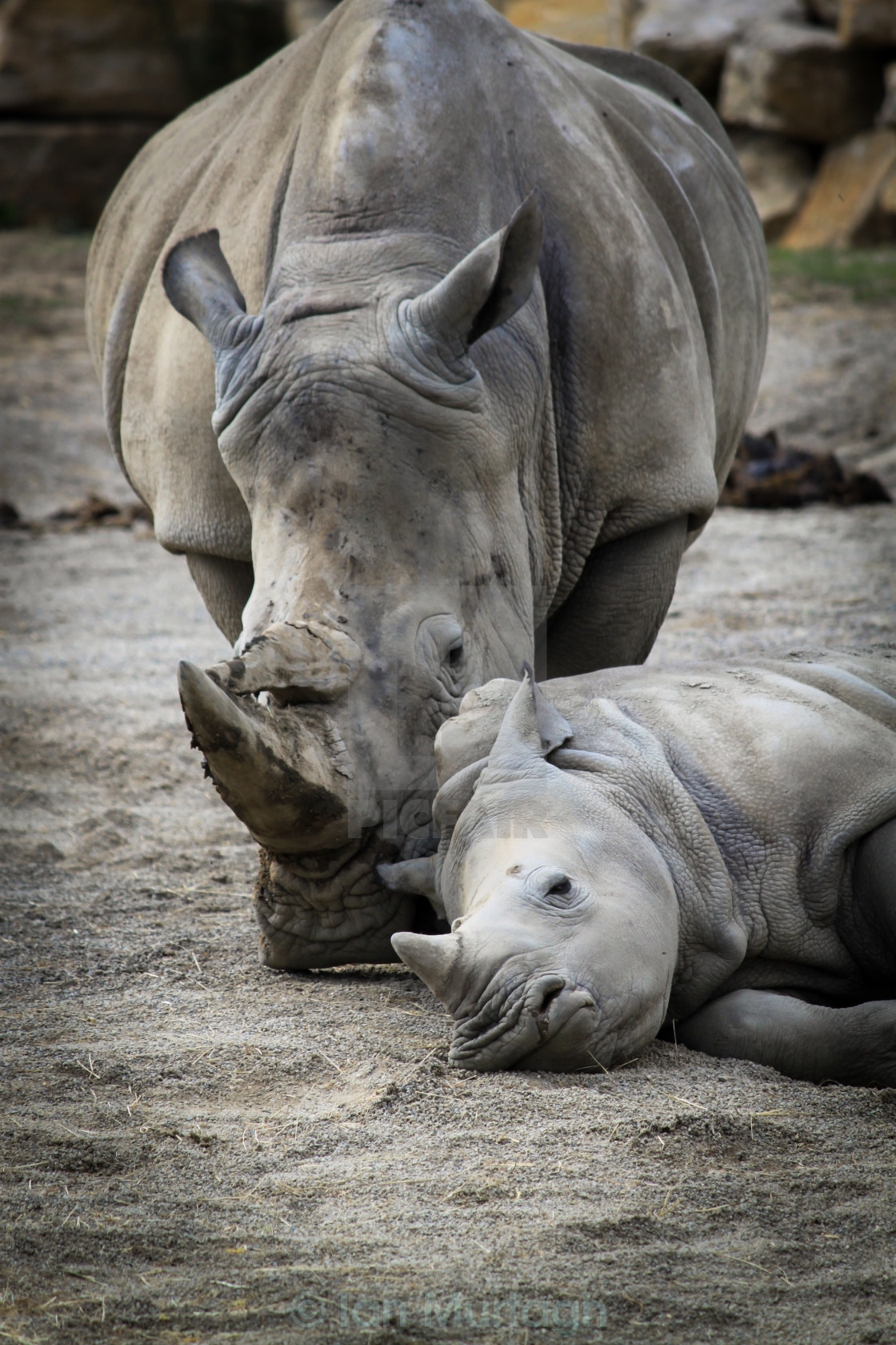 """Rhino Love"" stock image"
