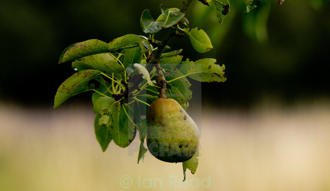 """Pear ready for the picking"" stock image"