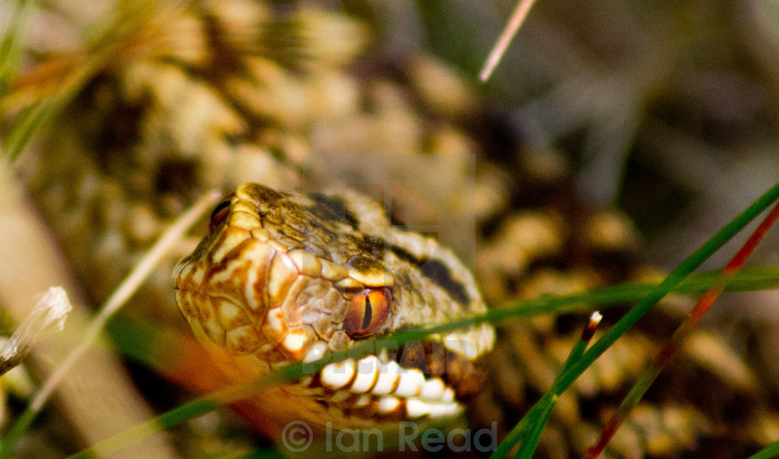 """Hunting Adder"" stock image"
