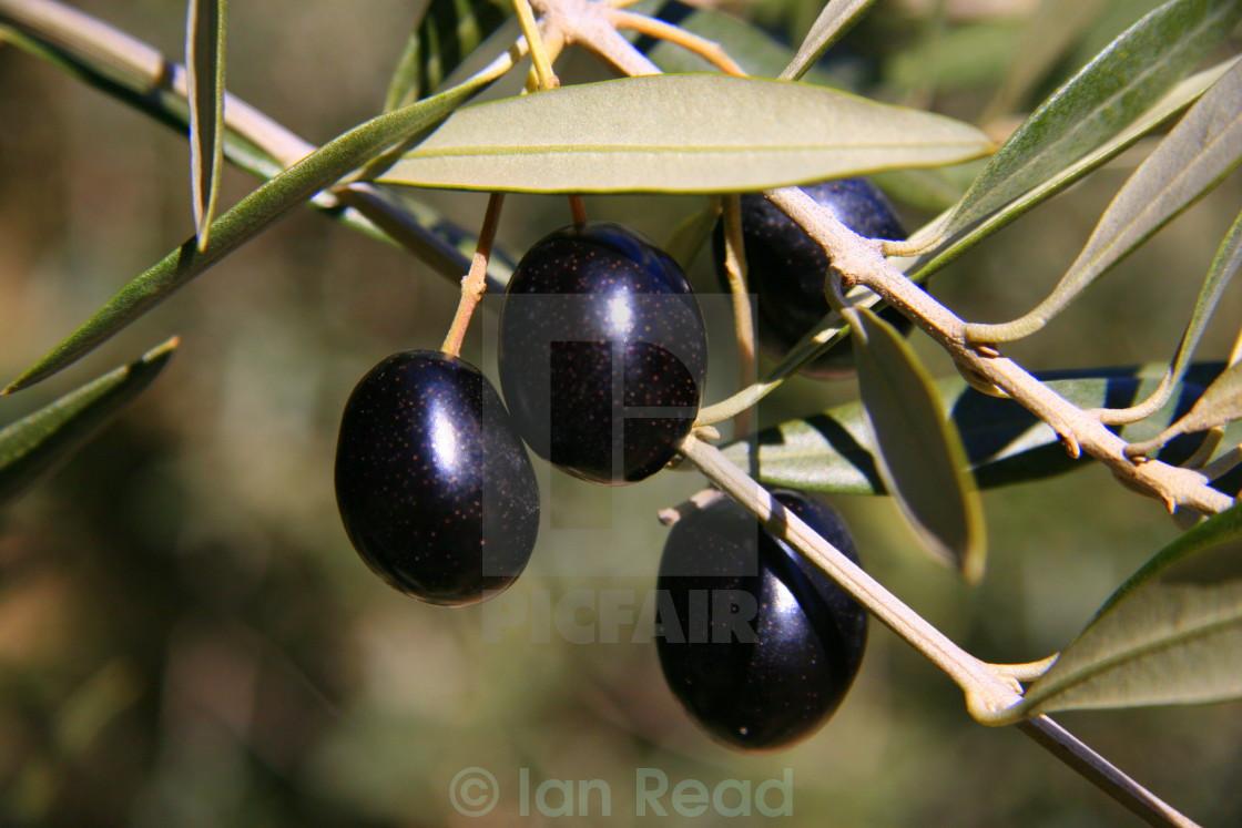 """""""Spanish Olives"""" stock image"""