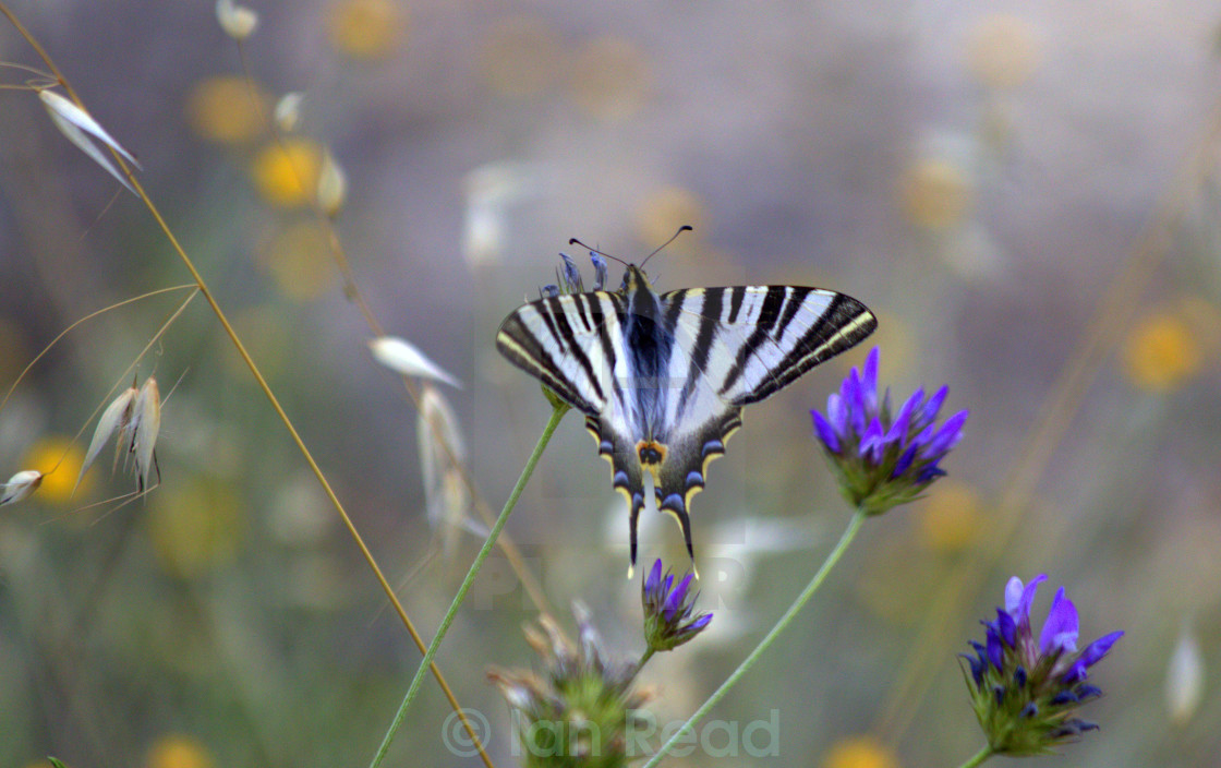 """""""Scarce Swallowtail Butterfly"""" stock image"""