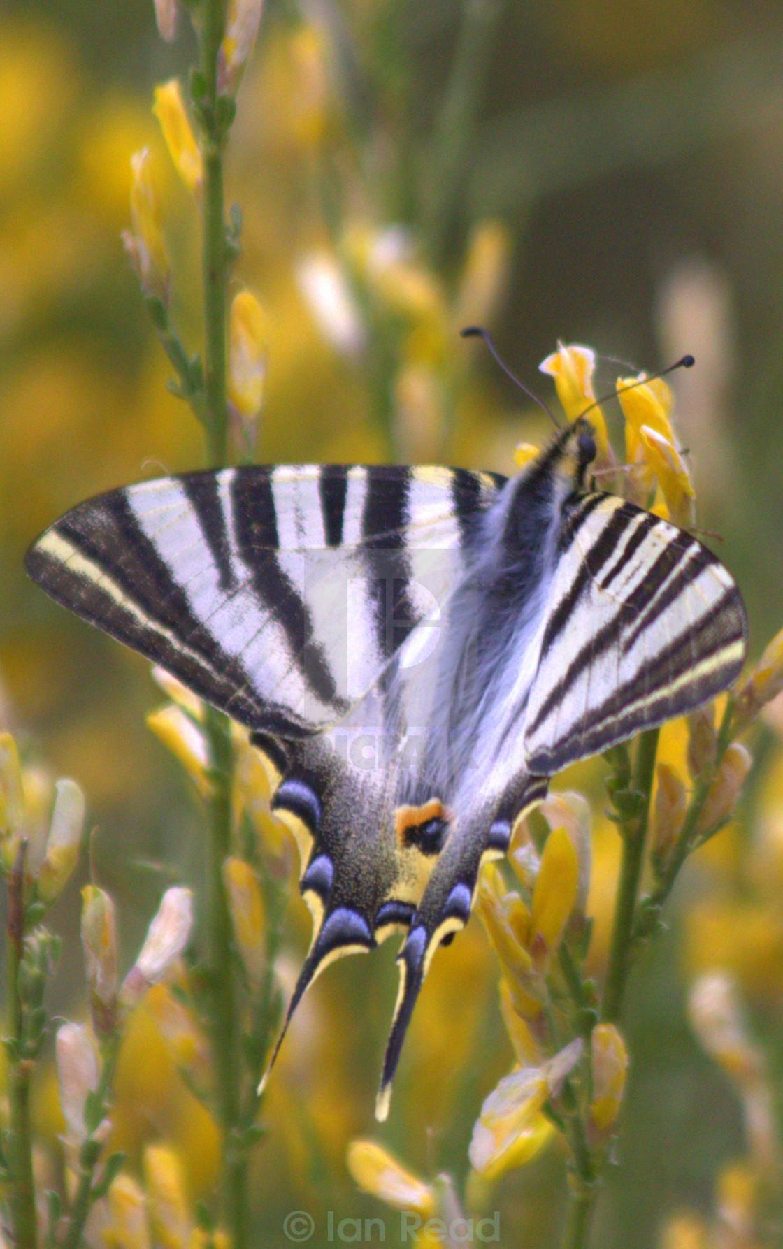 """Scarce (Southern) Swallowtail Butterfly (Iphiclides podalirius)"" stock image"