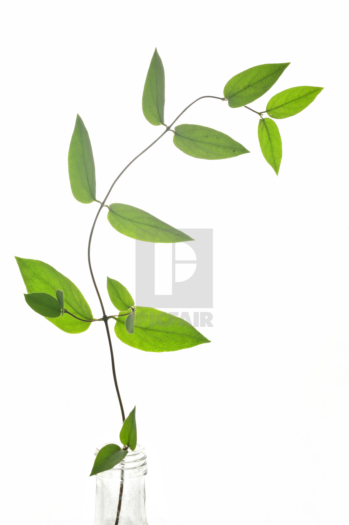 """Branch Of Green Leaves Isolated"" stock image"