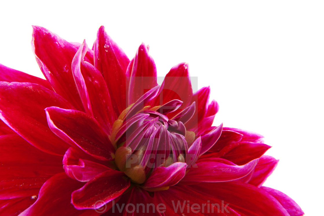 """Cactus Dahlia"" stock image"