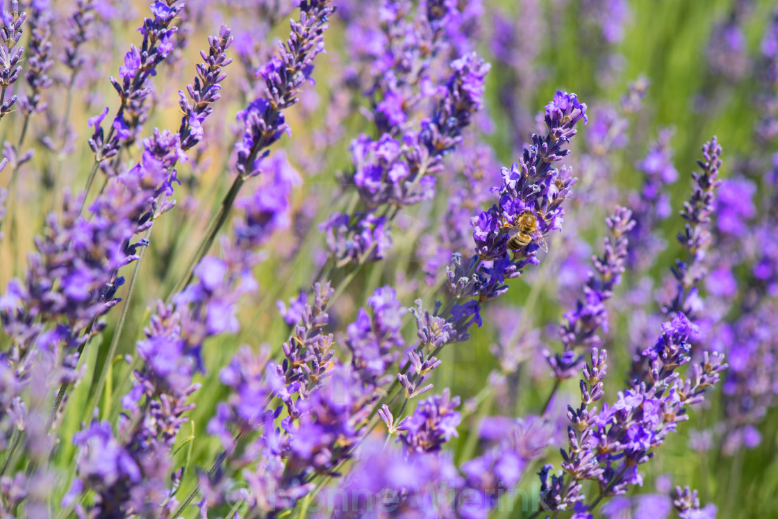 """lavender flowers with bee in France"" stock image"