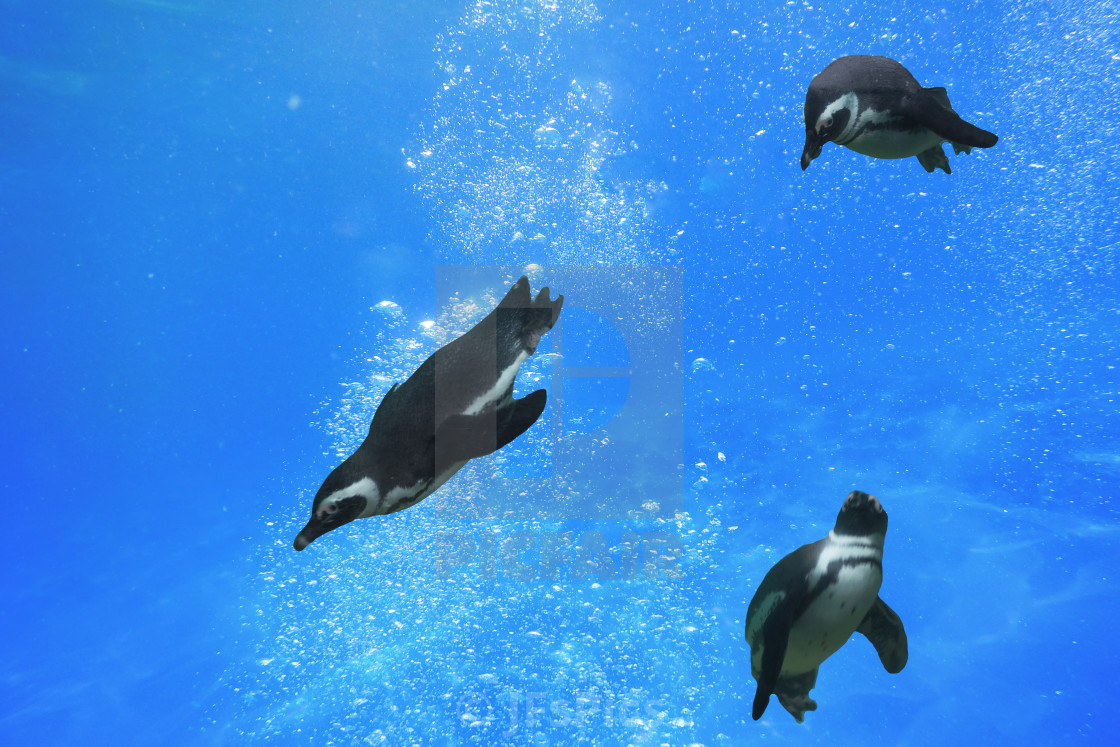 """Three penguins swimming under water"" stock image"