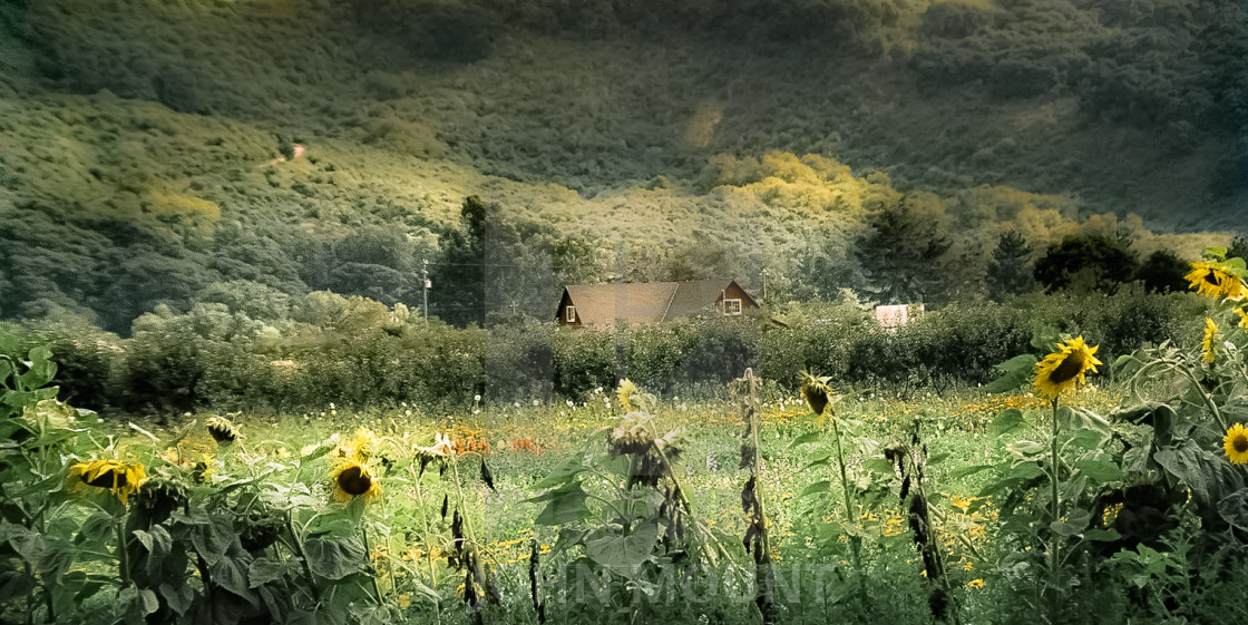 """""""Country Home with sunflowers"""" stock image"""