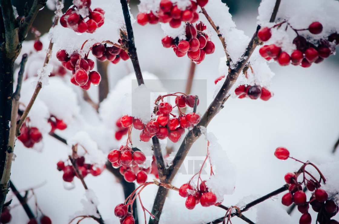 """Berries In Frost"" stock image"