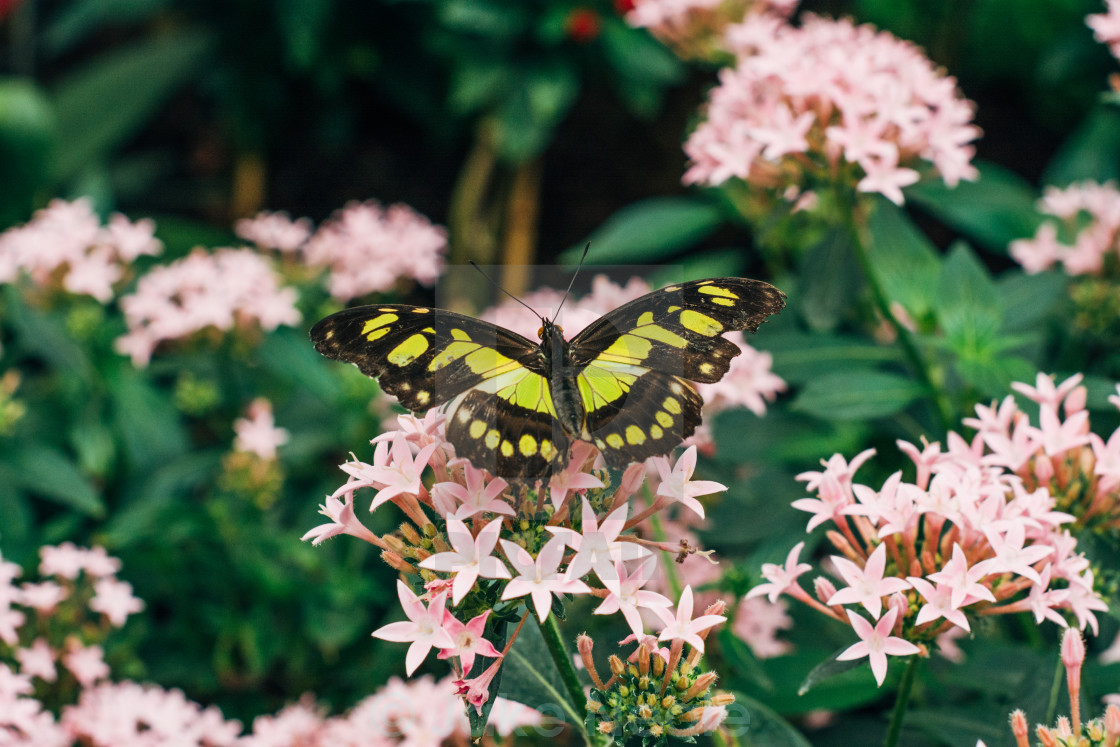 """""""Butterly On Flower (3)"""" stock image"""