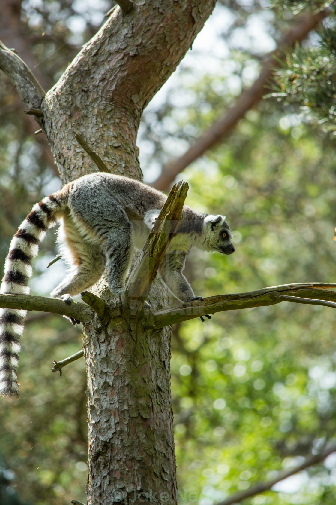 """Lemur in tree, Climing"" stock image"