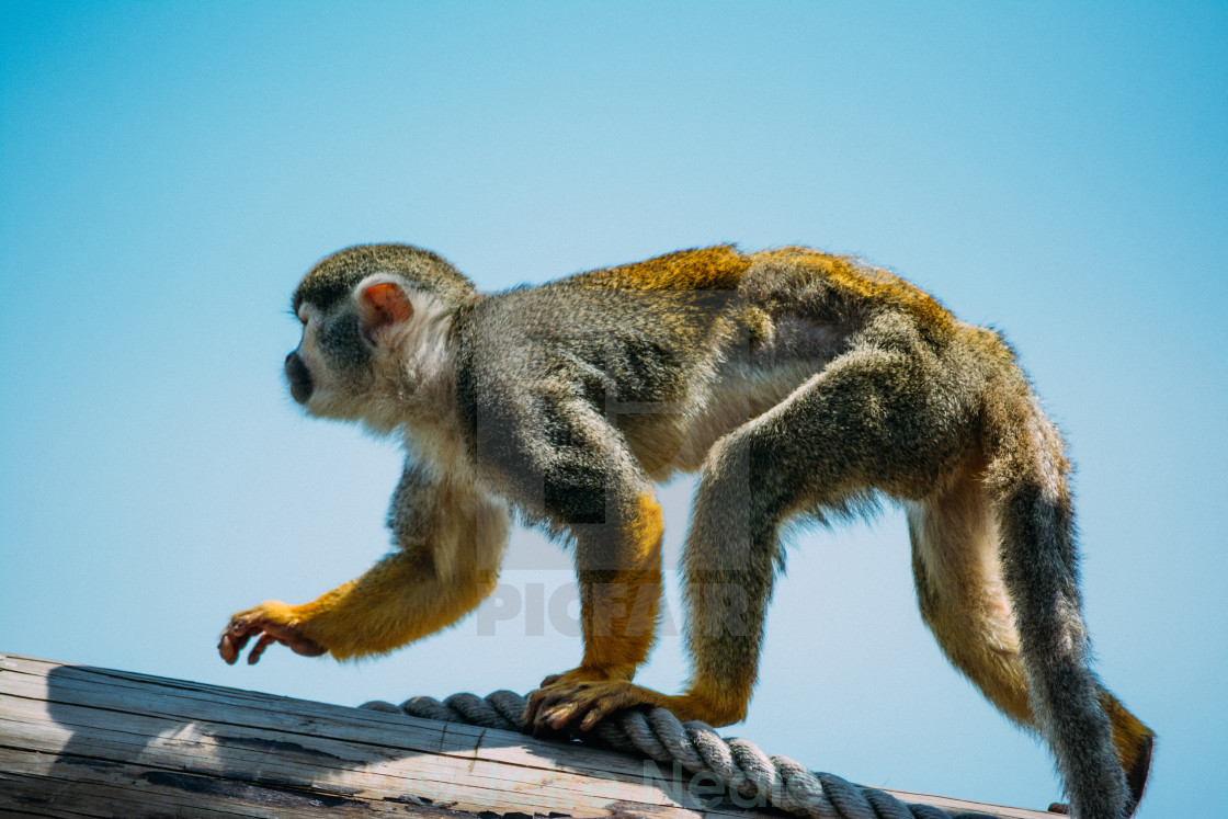 """""""Squirrel Monkey, On The Move"""" stock image"""