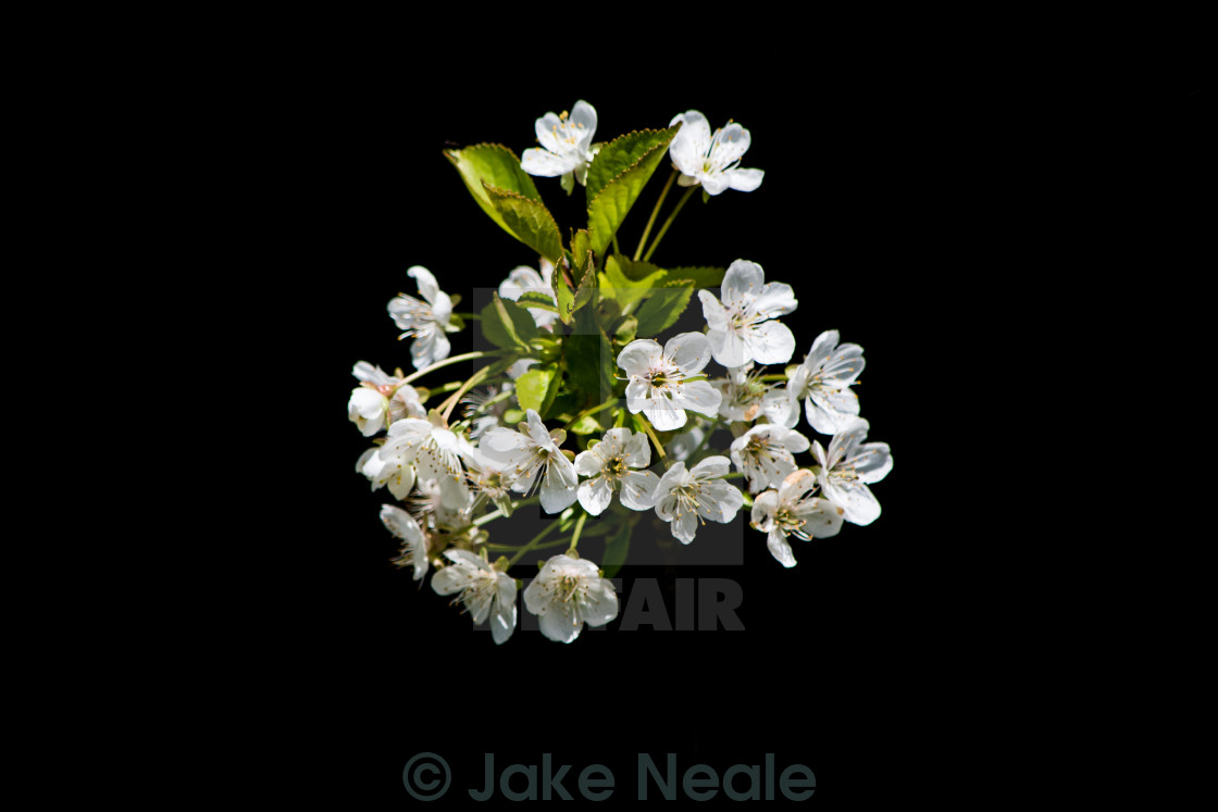 """White Flower Burst"" stock image"