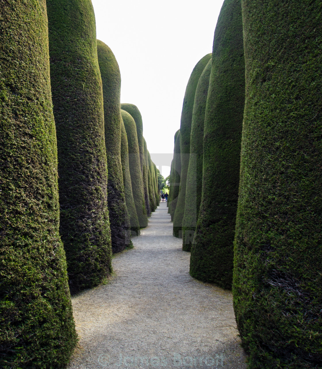 """""""An arcade of manicured trees"""" stock image"""