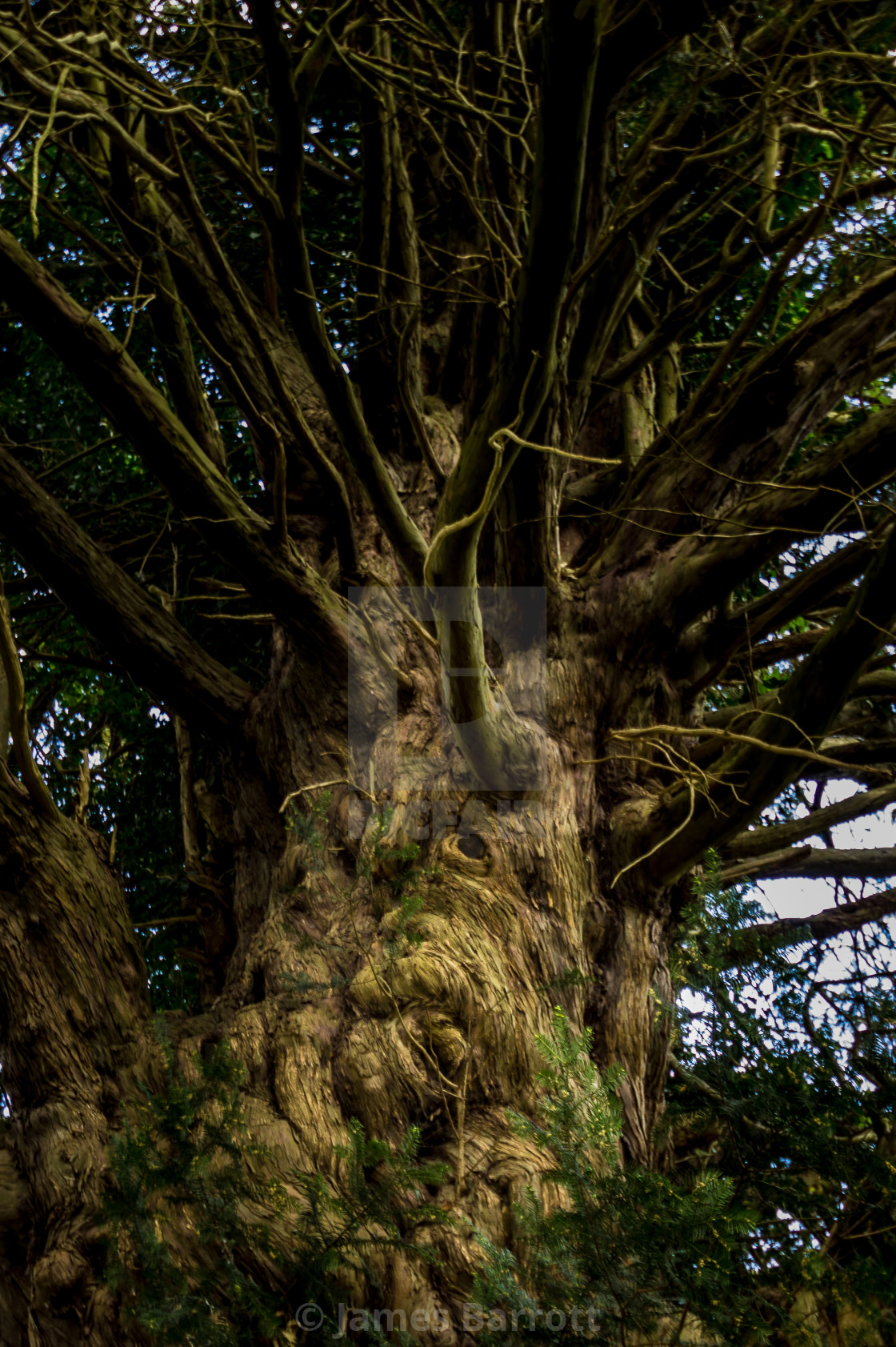 """""""The Soul of a Yew."""" stock image"""