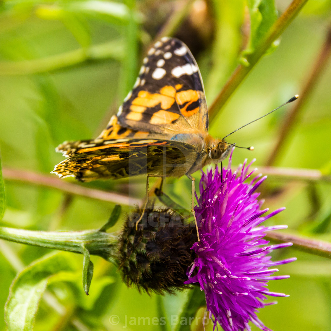 """A Painted Lady butterfly"" stock image"